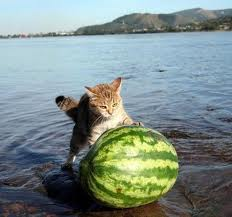 cat rolling watermellon